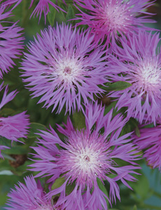 Cornflower are ideal for exposed gardens due to their hardiness.