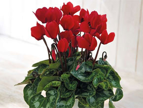 cyclamen christmas wish red