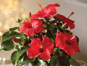 Hibiscus Festive Flair