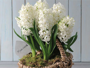 hyacinth white willow basket white azalea