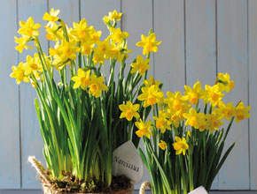 Narcissus Flower Basket