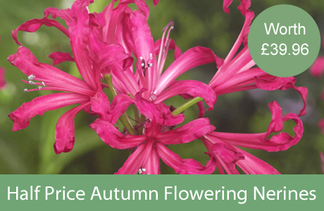 Half Price Autumn Flowering Nerines