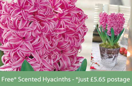Free* Scented Hyacinths