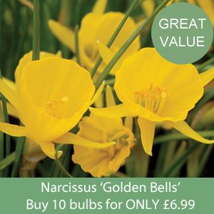 Narcissus 'Golden Bells'