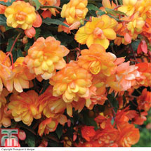 The best Begonias you'll ever grow