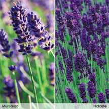 English Lavenders