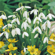 35 Snowdrops (Plant of the Week)