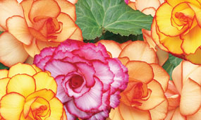 Begonia Photo Competition