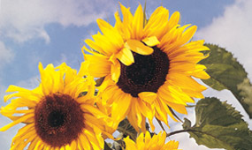 Sunflower Photo Competition