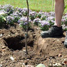 Soil to be deeply dug and well manured, a sunny position is preferred. Dig a hole wide enough to take the roots when spread out