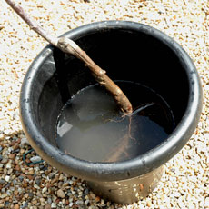 On arrival soak the roots of the tree throughly in a bucket of water