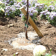 Water your tree thoroughly after planting and ensure that the surrounding soil is well fed through the growing season.
