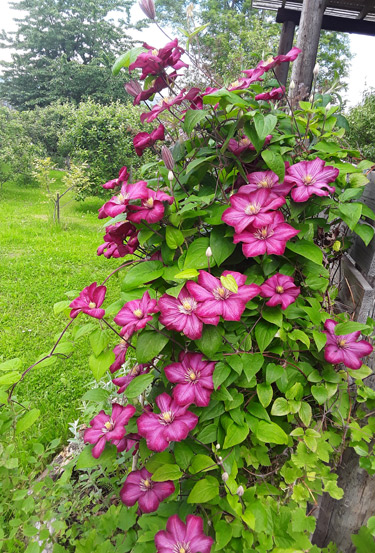 Vibrant Clematis