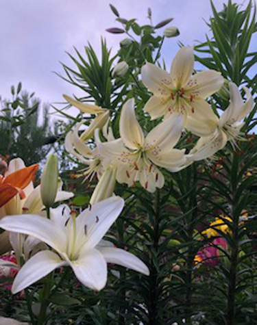 Lively Lilies