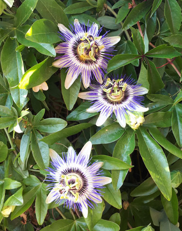 Perfect Passion Flowers