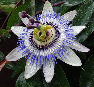 Powerful Passion Flower