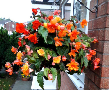 Blossoming Begonias