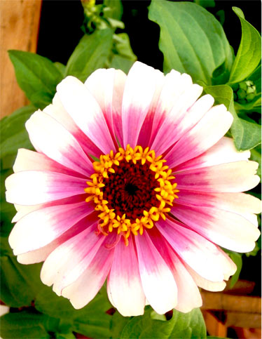 Zinnia marylandica 'Zahara Starlight Rose'