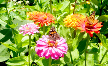 Painted Lady butterflys on Mixed Zinnias