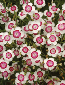 Evergreen perennials such as Dianthus deltoidesare ideal for exposed, coastal gardens due to their salt tolerance and they provide colour in the summer months