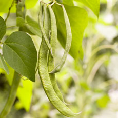 Randel Recommends - Try growing dwarf runner beans in hanging baskets if space is limited