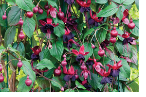 Fuchsia 'Lady in Black' - exclusively available from the Alan Titchmarsh Collection, brought to you by Thompson & Morgan
