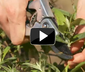 how to prune buddleja buzz video