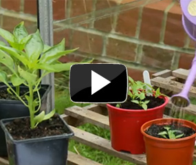 how to grow chilli peppers video