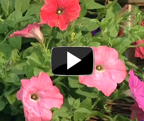 how to feed petunia plants video
