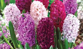 How To Grow Hyacinths