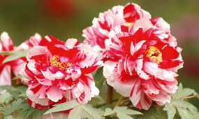 How To Plant Peonies