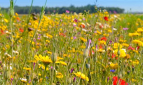 how to sow wildflower seeds
