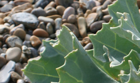 plants for coastal gardens and exposed sites