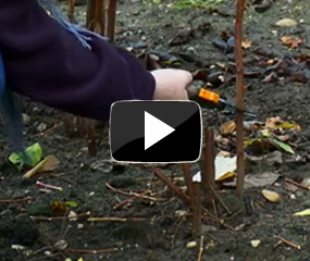 how to prune raspberries video