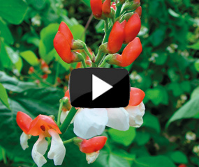 how to grow runner beans video