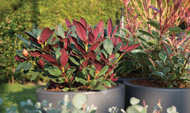 evergreen shrubs for small gardens