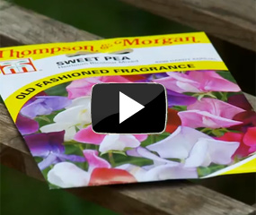 how to sow & grow sweet peas video