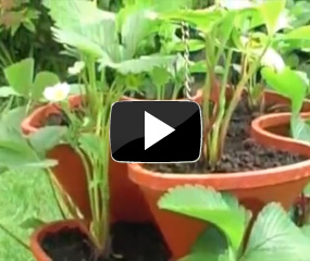 how to plant strawberries video