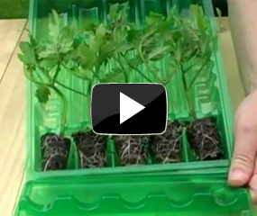 how to grow tomato plants video