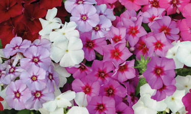 top 10 fragrant annuals from seed