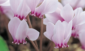top 10 autumn & winter flowering bulbs