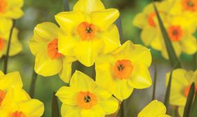 top 10 spring flowering bulbs