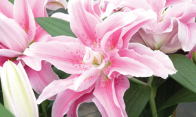 top 10 summer flowering bulbs