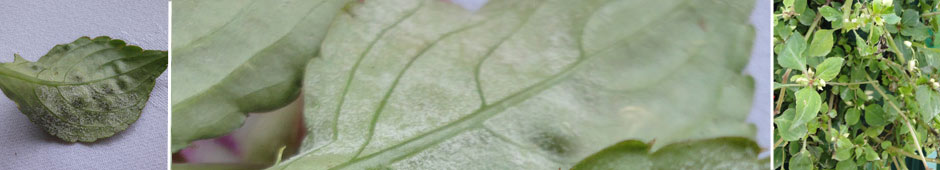 diseases - downy mildew