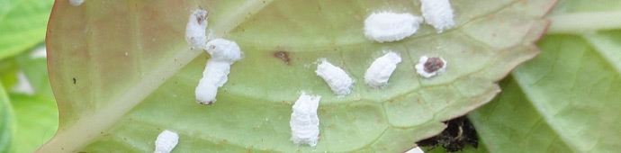 pests - scale insects