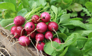 radishes harvested in August