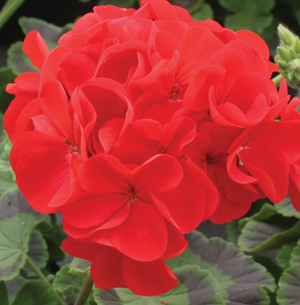 geranium best red