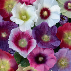 Buy Hollyhock Halo Mixed.