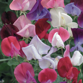 Sweet Pea 'Heirloom Bicolour Mixed' - Flower of the Year 2010
