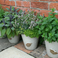 Herbs for containers